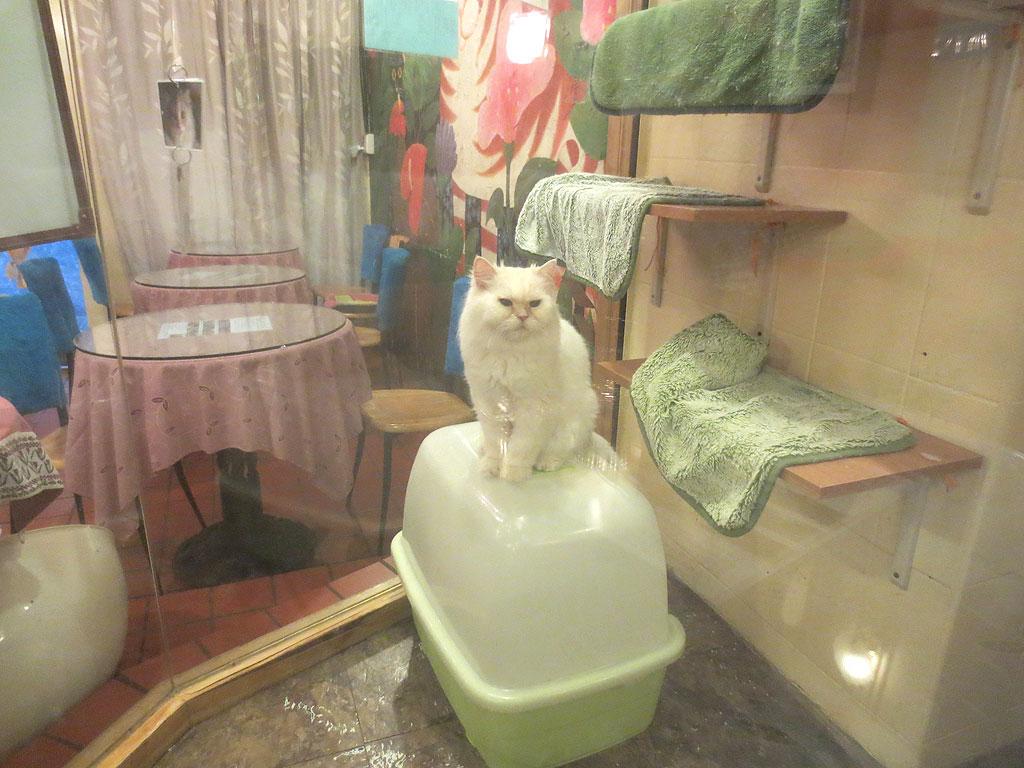 猫ちゃんの紹介、ペルシャ。