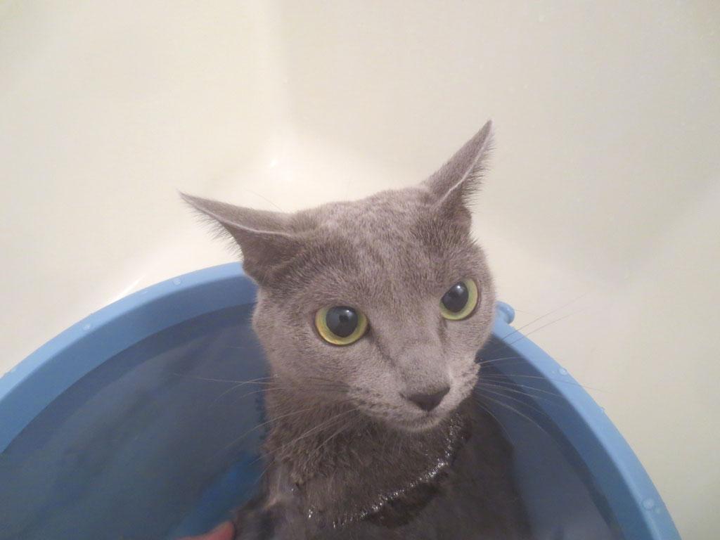 お風呂に入るロシ子ちゃん。