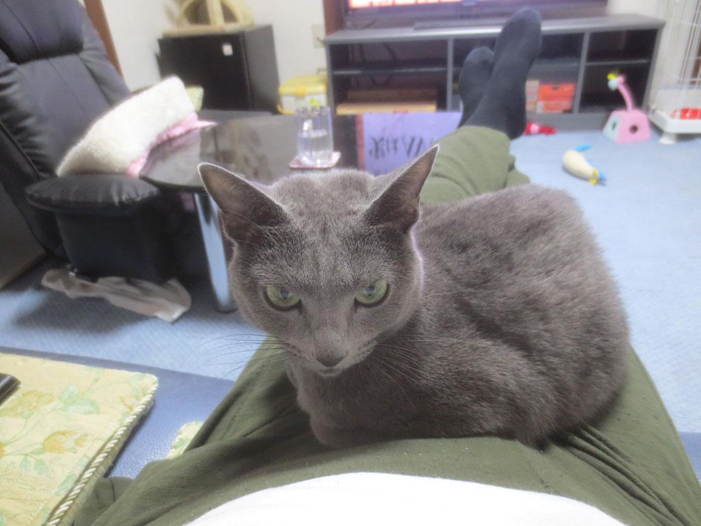 私の膝に乗るロシアンブルー。