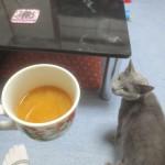 味噌汁に興味を盛るロシアンブルー。