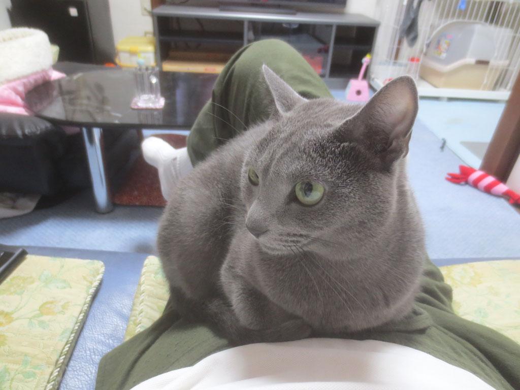 狭い場所に座るロシアンブルー。
