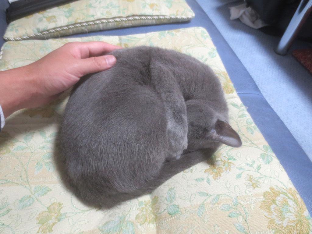 丸くなって寝るロシアンブルー。
