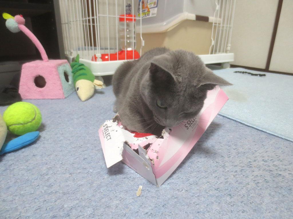 箱の中に手を突っ込みたいロシ子。