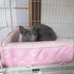 猫ベットの中のロシアンブルー。