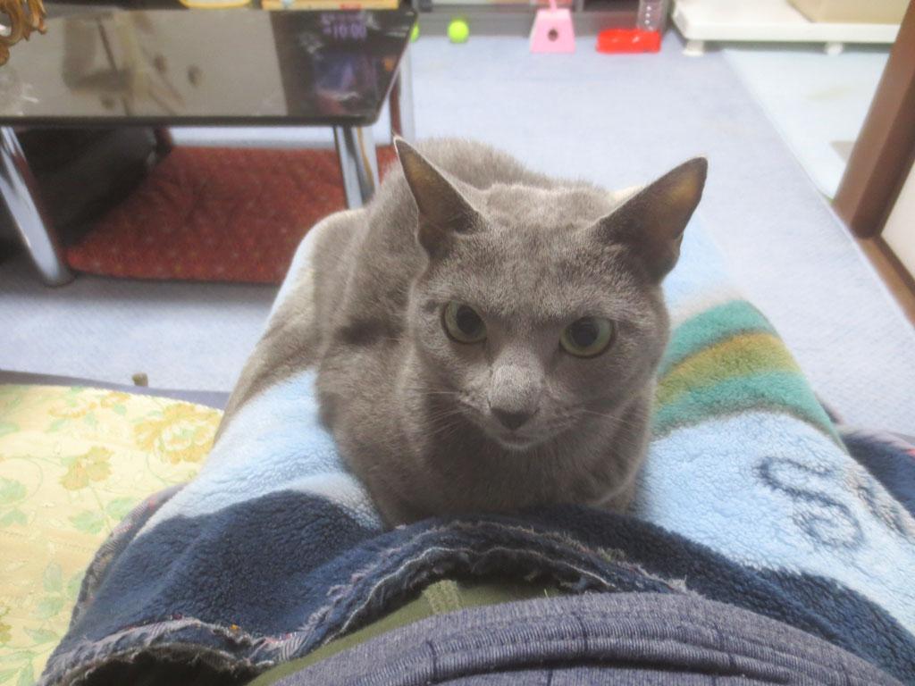 私の膝の上のロシアンブルー。