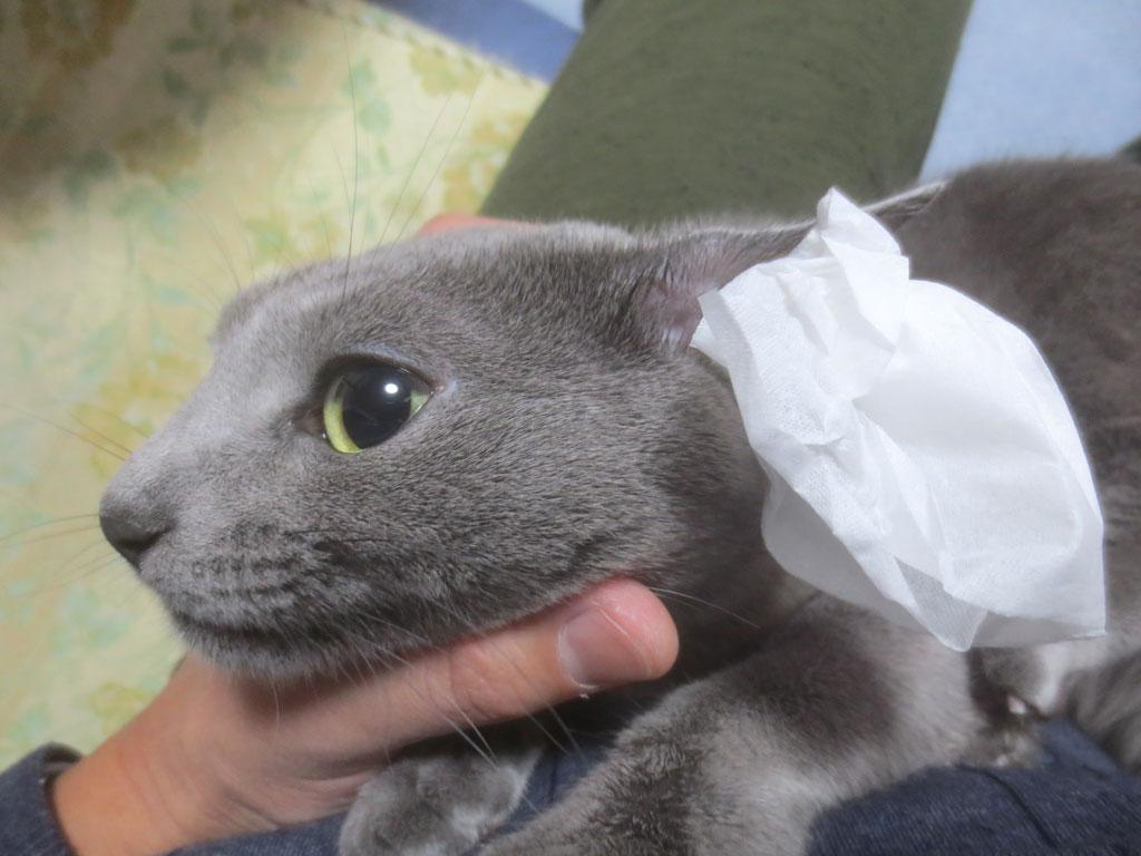 ロシ子の耳掃除をします。