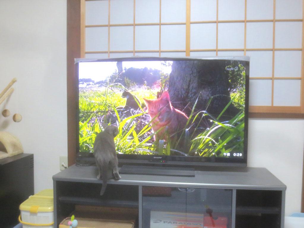 テレビ台に上がるロシアンブルー。