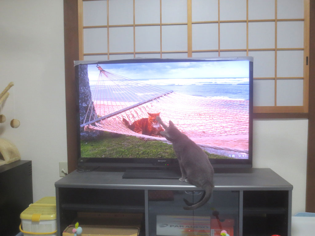 テレビに触るロシアンブルー。