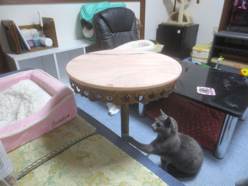 サイドテーブルに興味津々のロシ子。