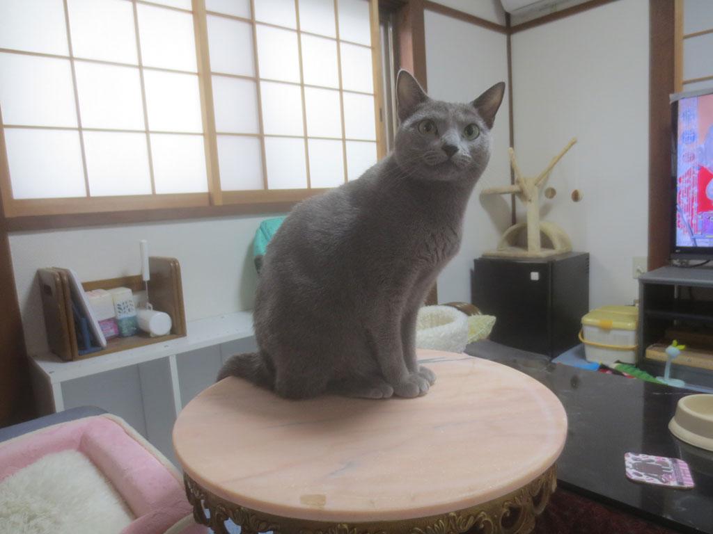 猫背なロシアンブルー。