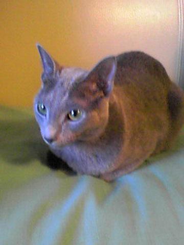 日本のロシアンブルーは美猫です。
