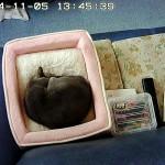居眠り中のロシアンブルー。