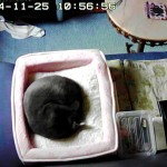 丸まって寝ているロシアンブルー。