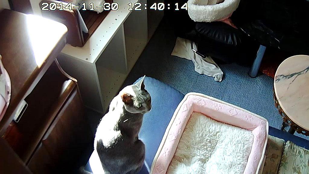 戸の方を見るロシアンブルー。