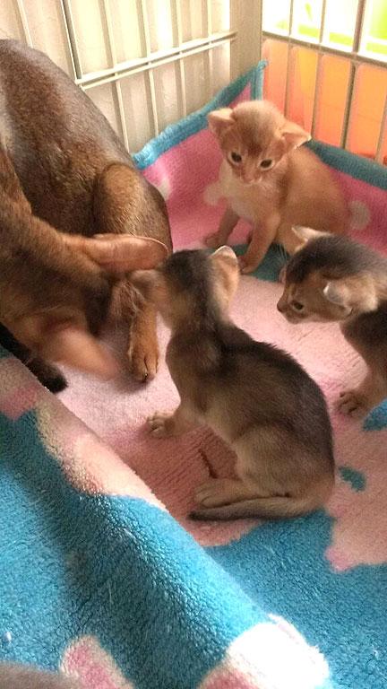 小さいアビシニアンの子猫たち。