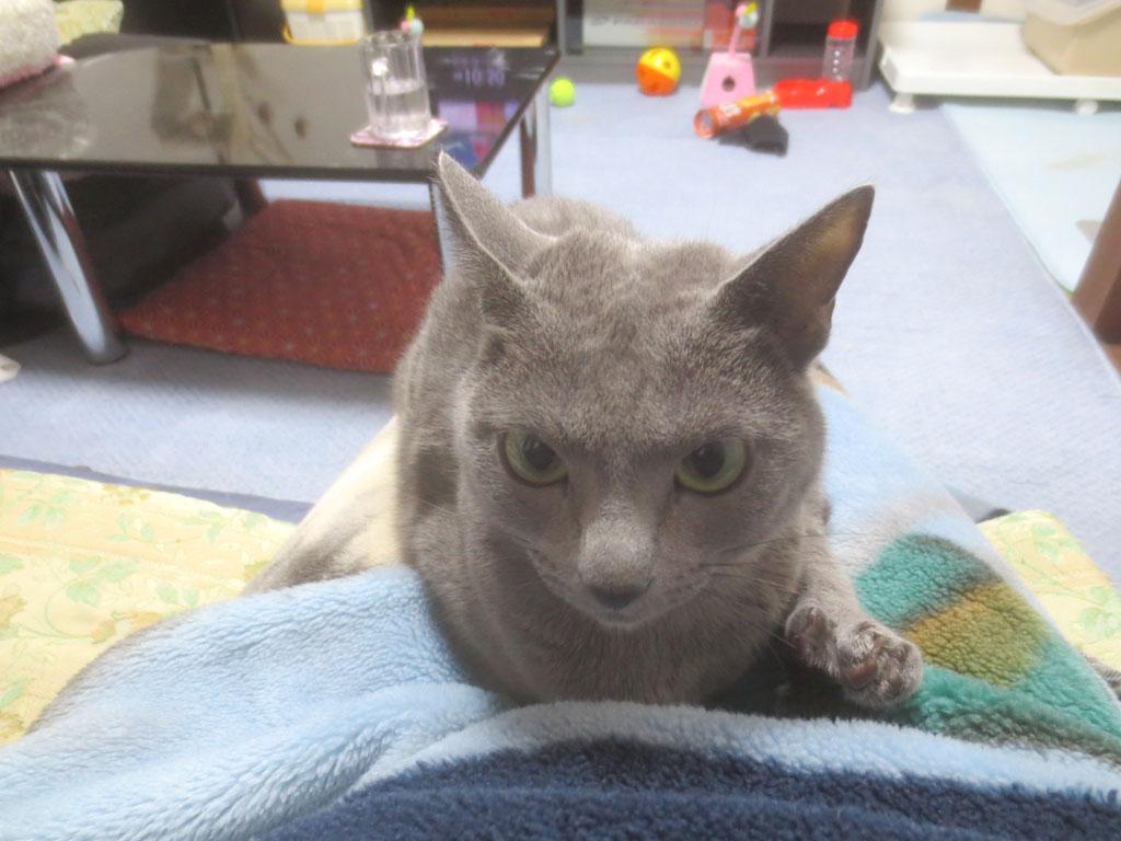 私の膝の上に座るロシアンブルー。
