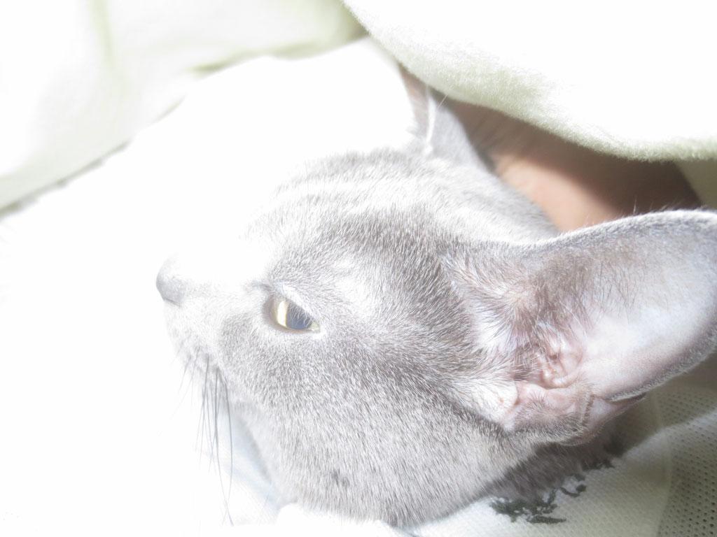 私の腕枕で寝るロシアンブルー。