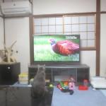 テレビを見ているロシアンブルー。