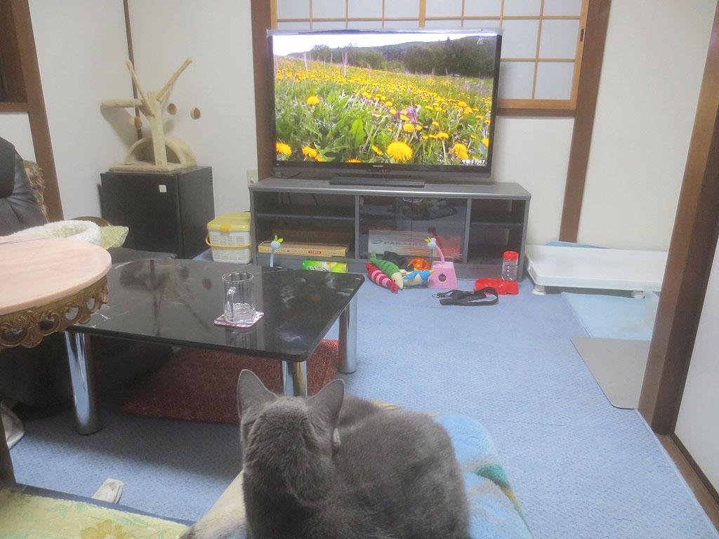 私の膝の上でテレビを見るロシ子。
