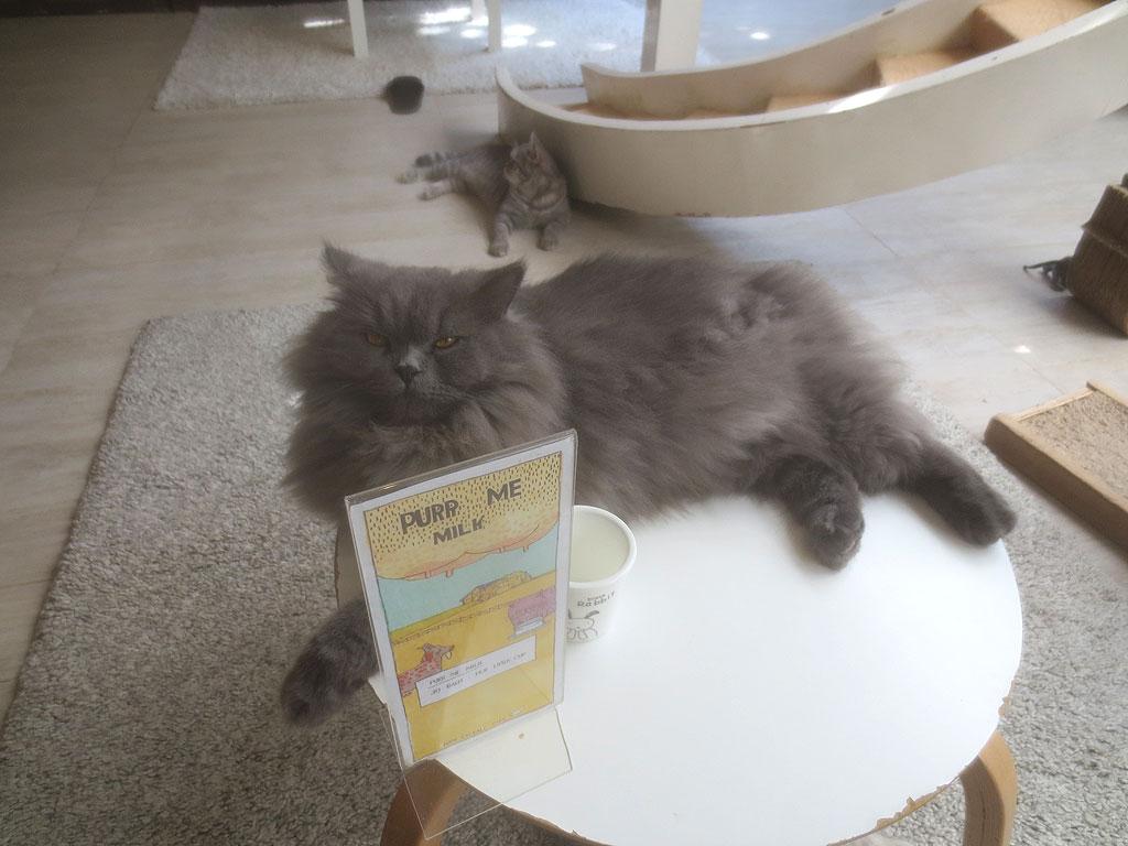ペルシャ系の猫ちゃん。