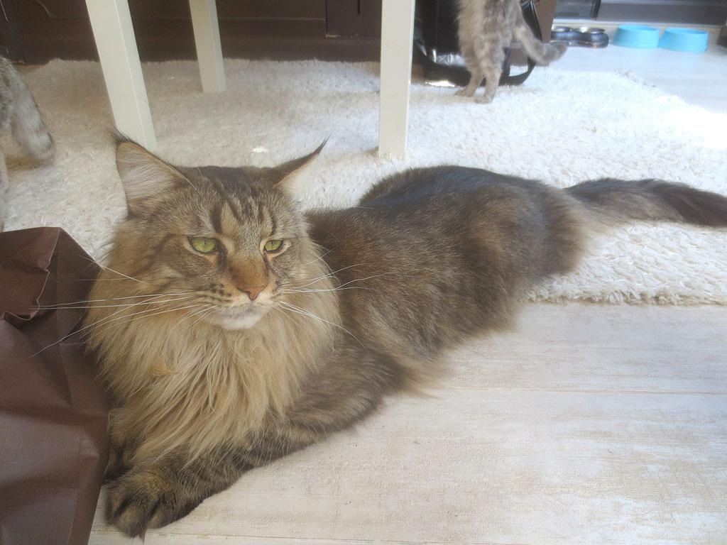 ライオンの様な猫ちゃんです。