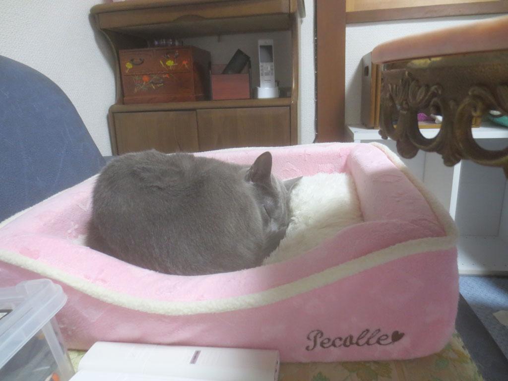 猫ベットでいているロシ子ちゃん。