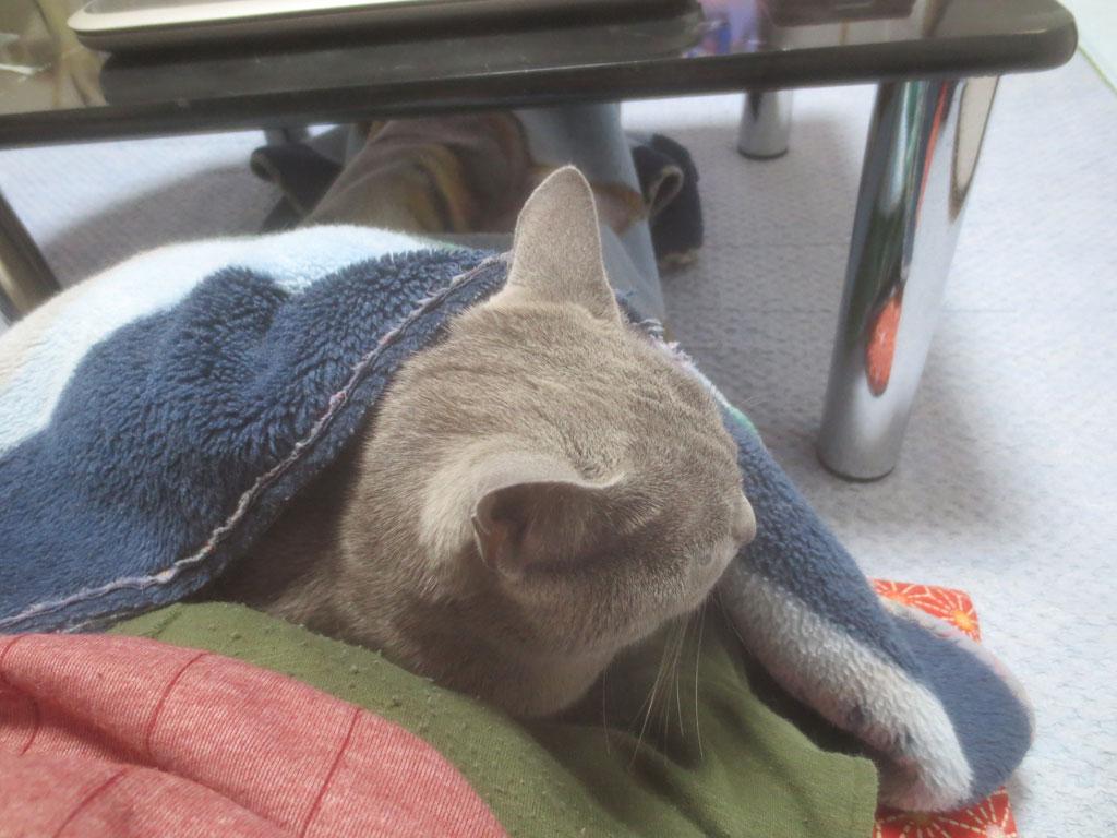毛布を被るロシアンブルー。