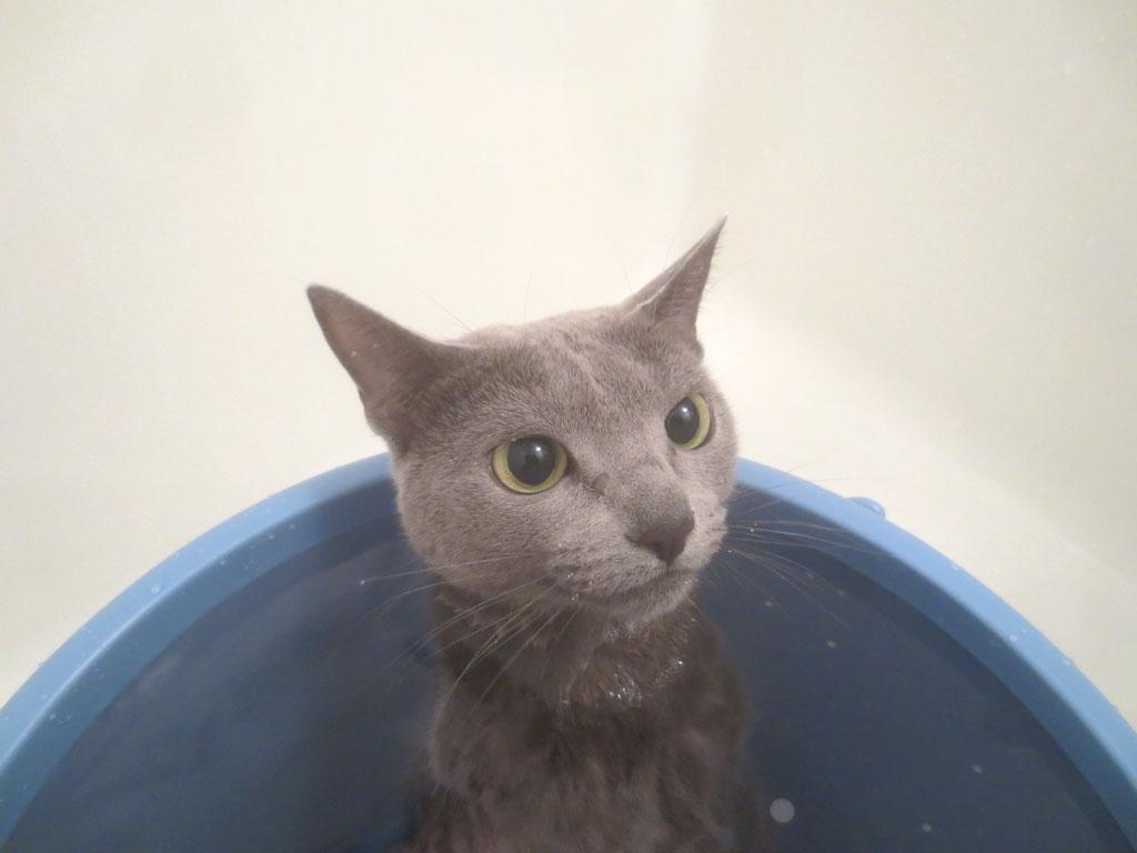 お風呂に浸かるロシアンブルー。