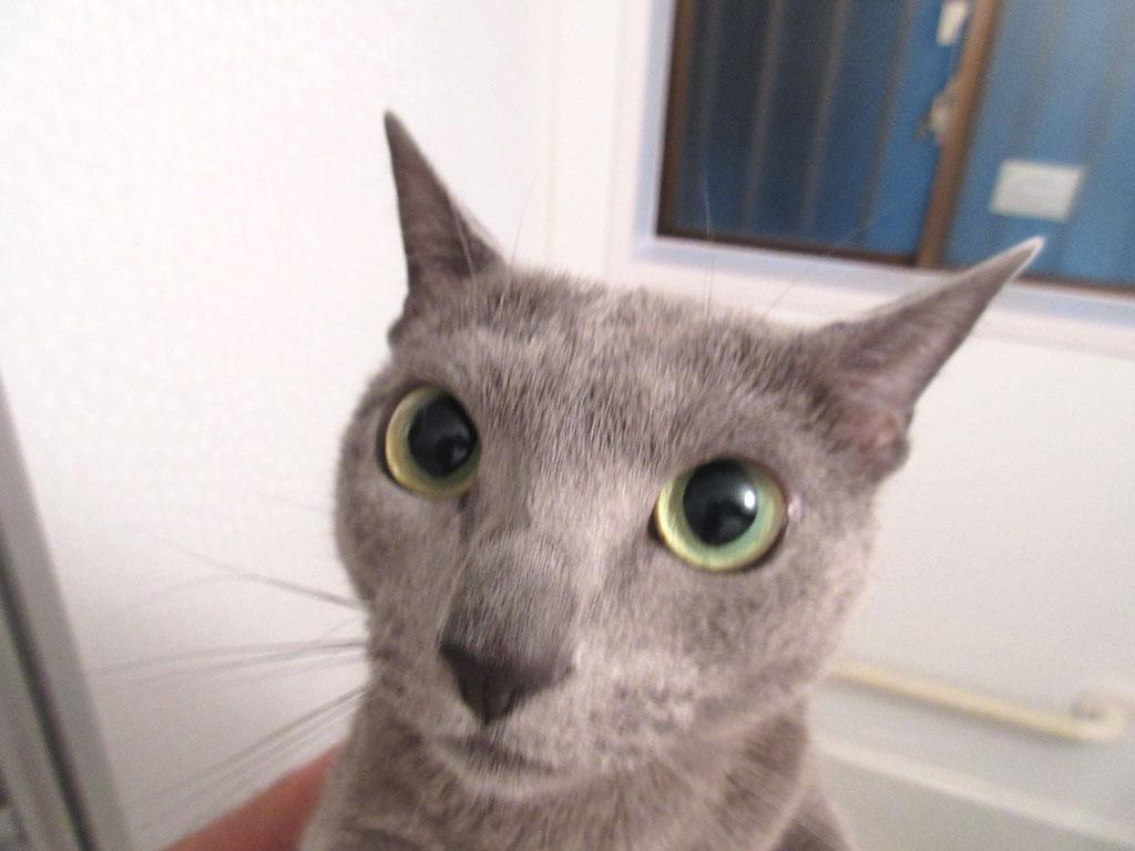 瞳孔が大きいロシアンブルー。