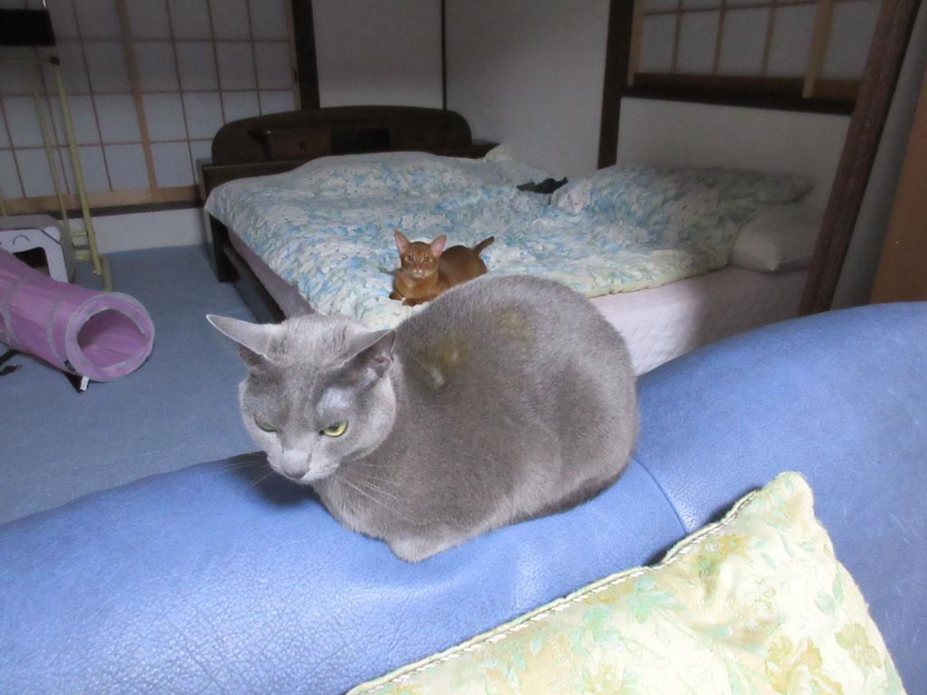 ソファーの背中に座るロシ子。