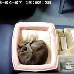 かわいい寝方のロシアンブルー。