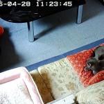 寛いで寝ているロシアンブルー。