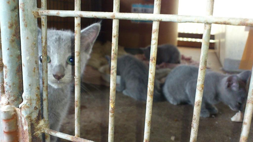 ロシアンブルーの子猫。