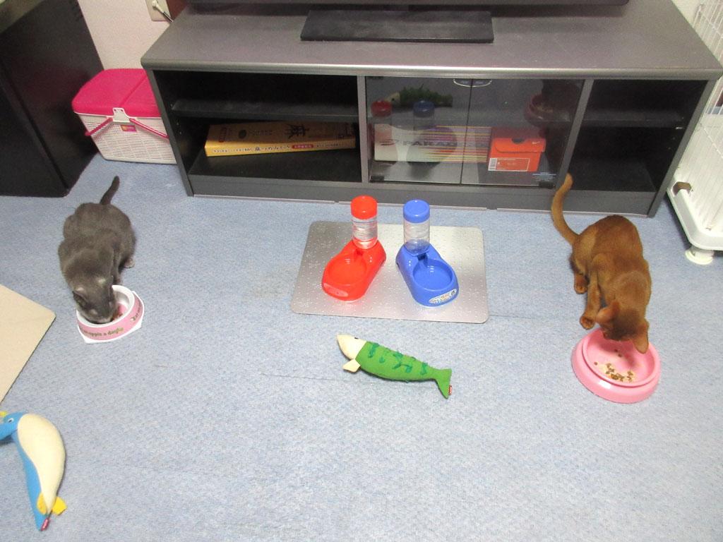 昨日の猫たちの晩ご飯の様子。