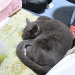 私の横で寝ているロシ子。