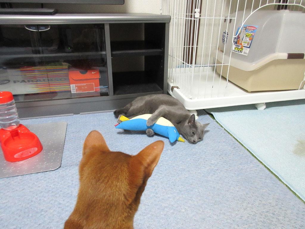 ロシ子と遊びたいアビのすけ。