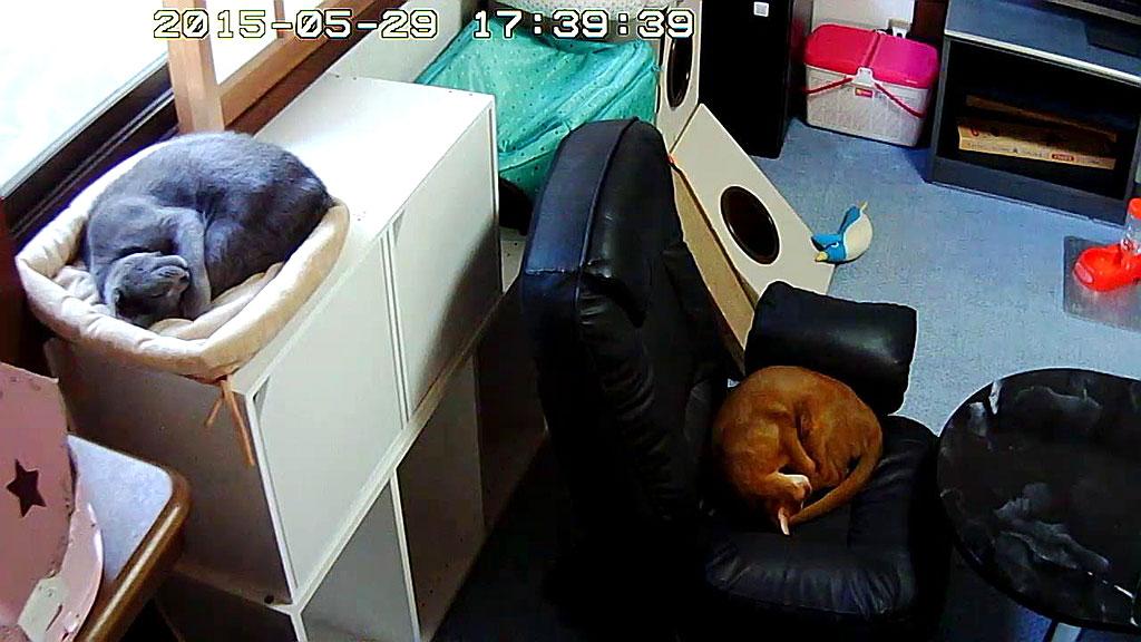同じ体勢で寝てる猫たち。
