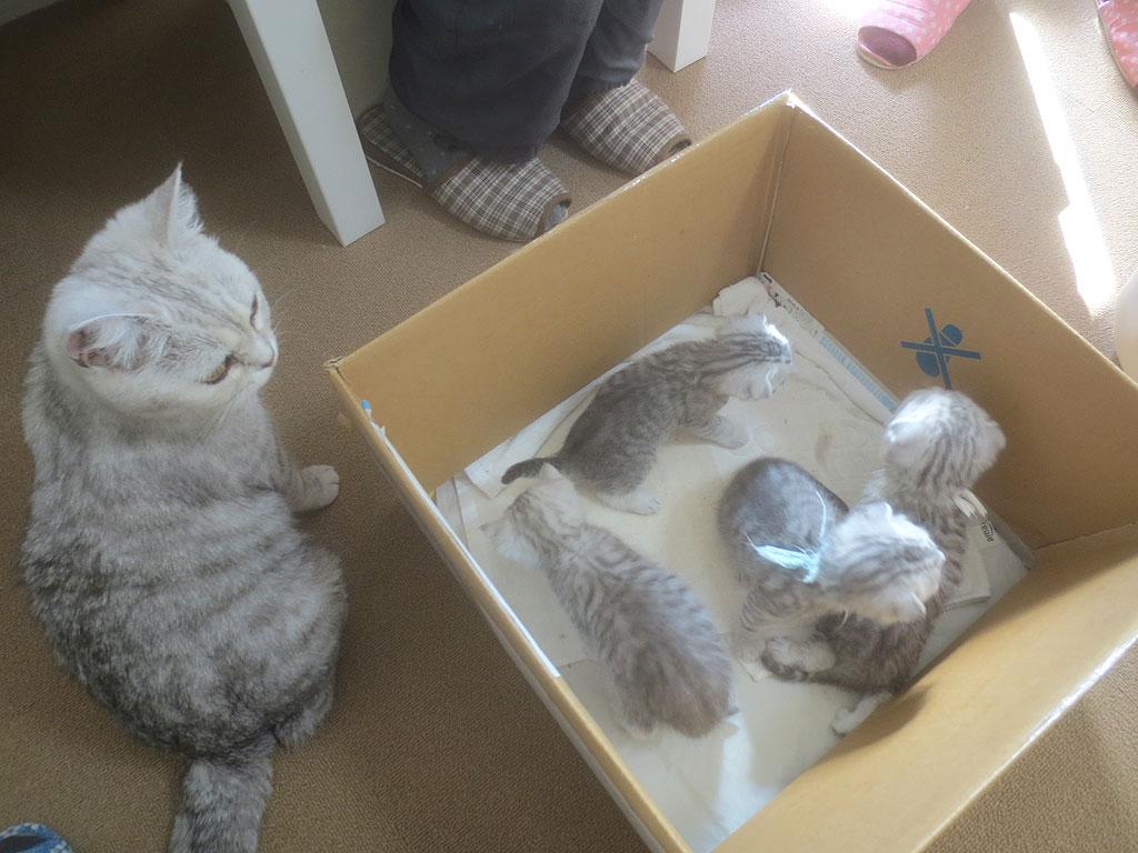 スコティッシュホールドの子猫たち。