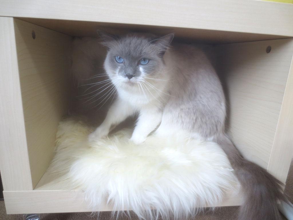 猫カフェのラグドール。
