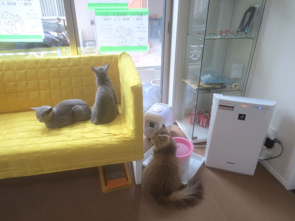 猫カフェのロシアンブルーたち。