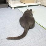 ネズミの様なロシアンブルー。