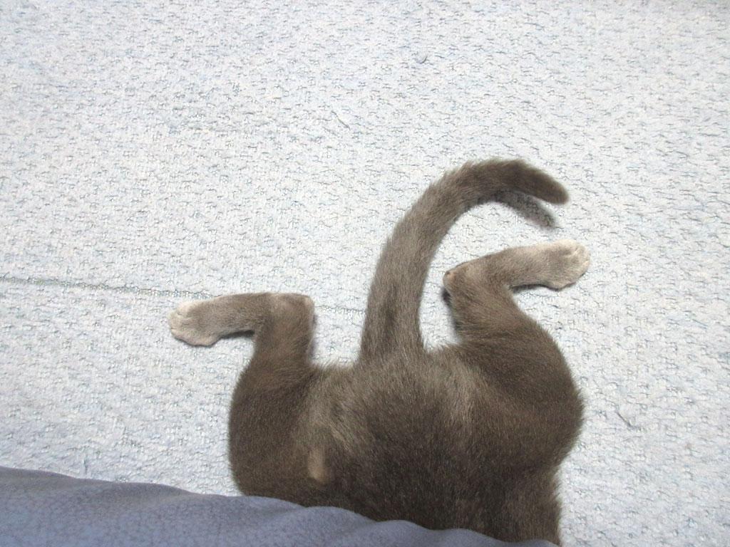 ソファーに潜り込むロシアンブルー。