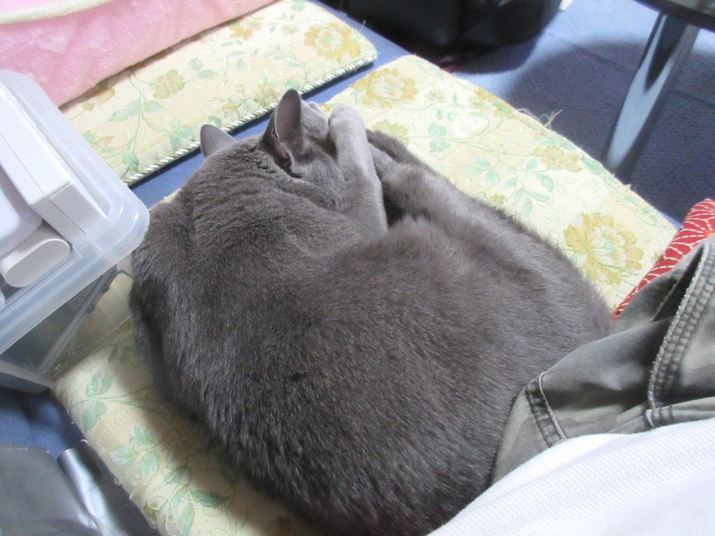 私の横で寝ているロシアンブルー。