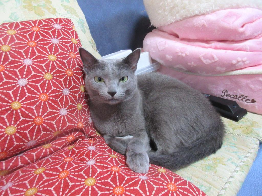 座布団と猫ベットの間のロシ子。