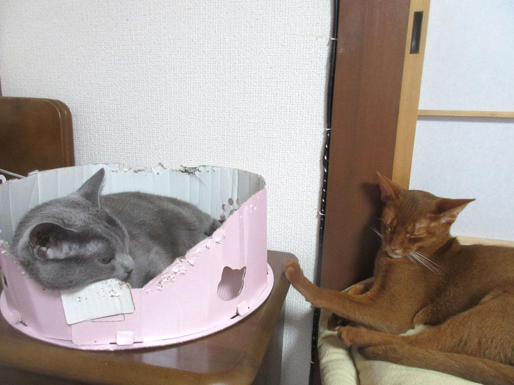 眠そうなロシアンブルー。