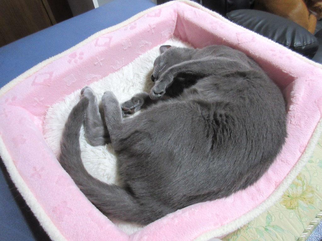 ゆっくりと寝るロシアンブルー。