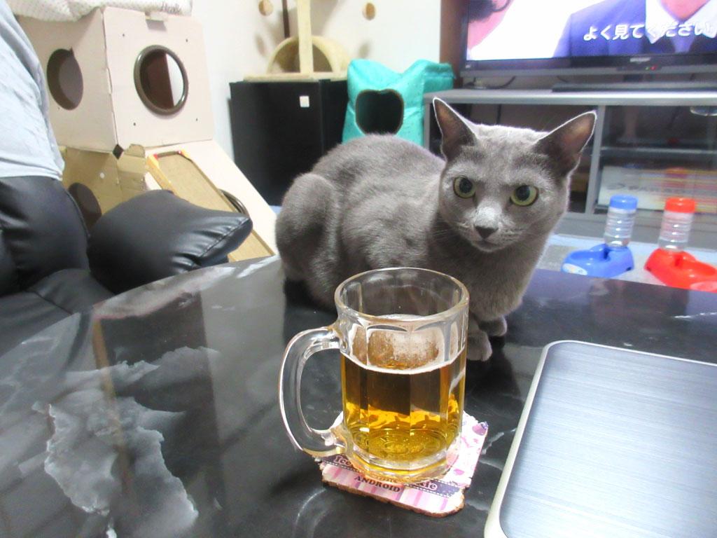 ビールの横のロシアンブルー。