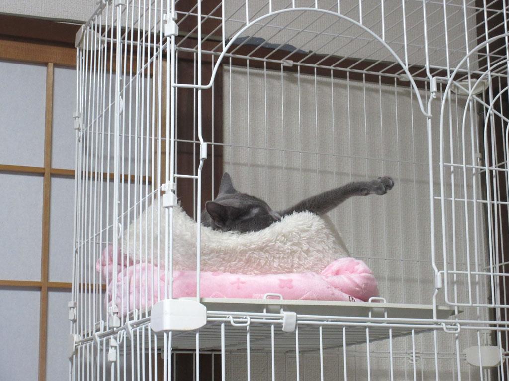 無造作な寝方のロシアンブルー。