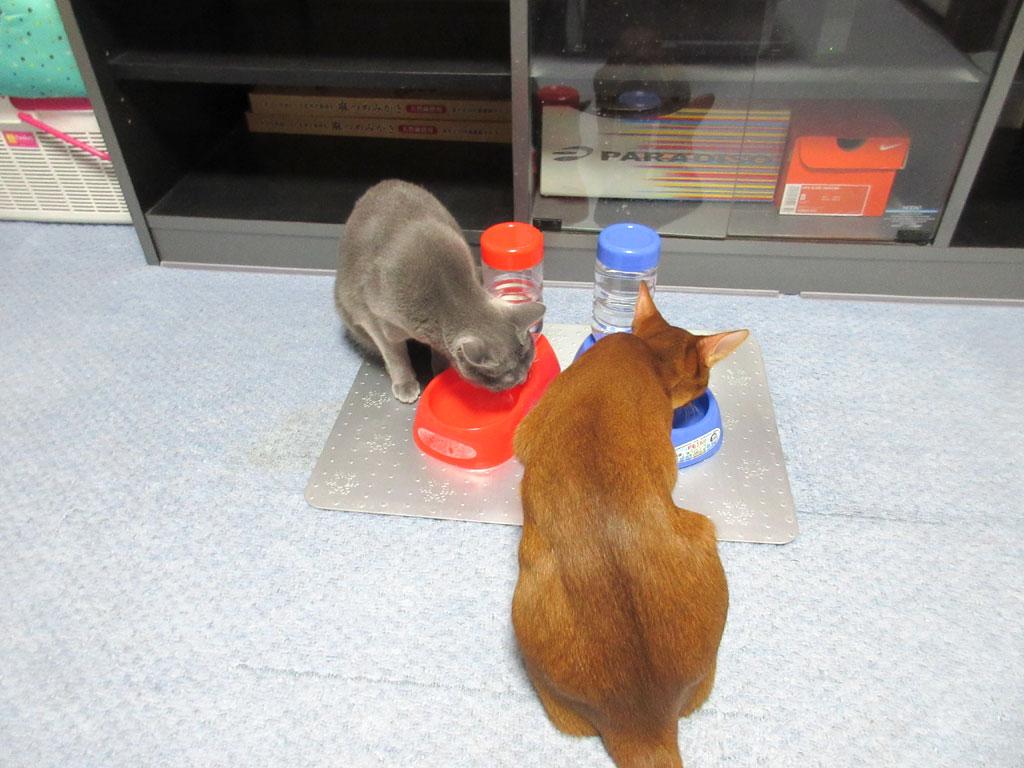 水を飲む我が家の猫たち。