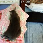 パウチを食べた後のロシアンブルー。